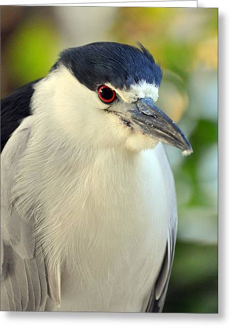 Night Heron Portrait In The Early Morning Light  Greeting Card by Rose  Hill