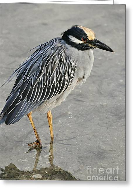 Night Heron With Breeding Colors Greeting Card by Rose  Hill