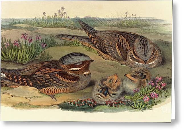 Nightjar Greeting Card by John Gould