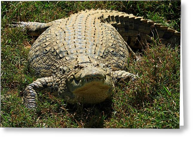 Nile Crocodile - Africa Greeting Card by Aidan Moran