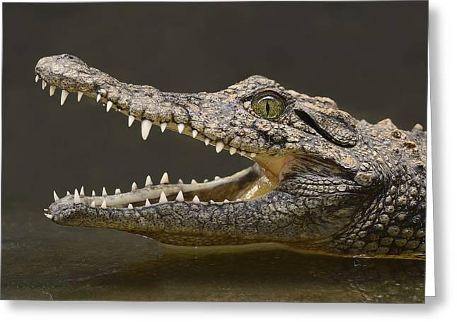 Sharp Teeth Greeting Cards - Nile Crocodile Greeting Card by Tony Beck