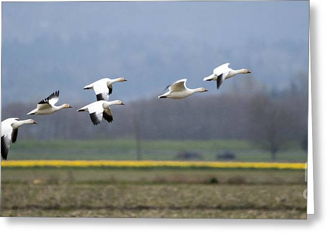 Nine Geese A Flying Greeting Card by Mike Dawson