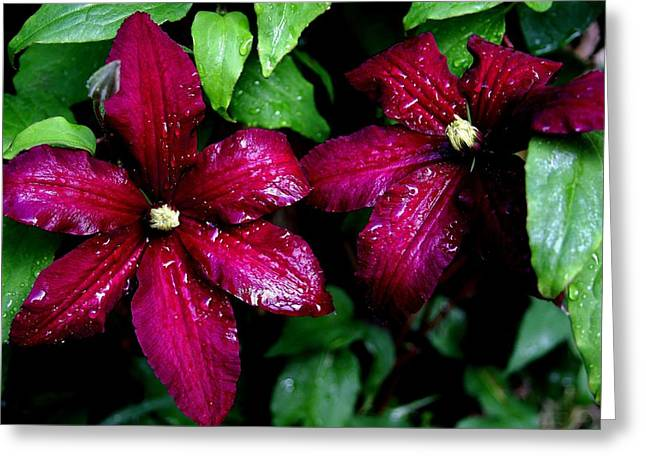 Niobe Clematis Greeting Card by Stacie Gary