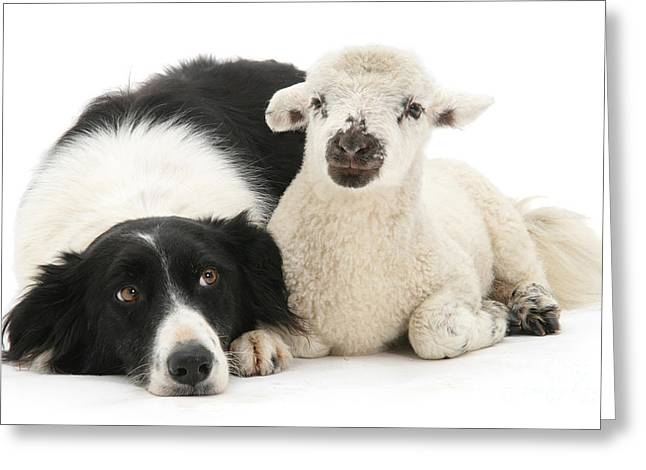 No Sheep Jokes, Please Greeting Card