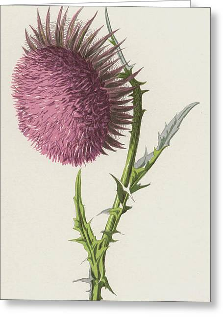 Nodding Thistle Greeting Card