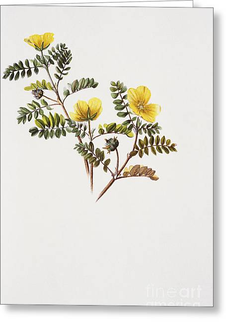 Nohu Flower - Vintage Greeting Card by Hawaiian Legacy Archive - Printscapes