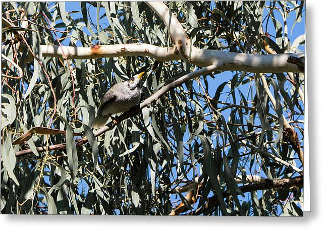 Noisy Miner Bird 1 - Canberra - Australia Greeting Card by Steven Ralser