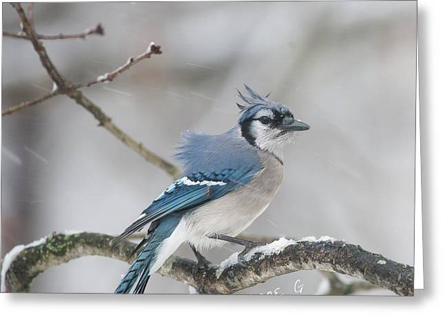 Nor' Easter Blue Jay Greeting Card