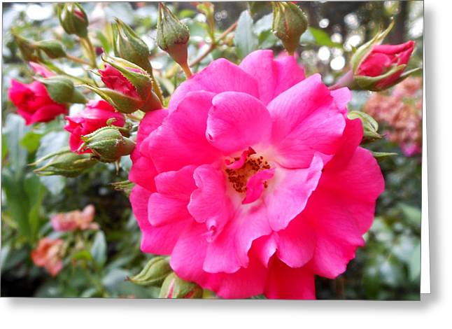Nora's Knockout Roses Greeting Card
