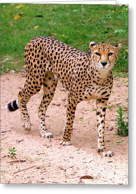 North African Cheetah Greeting Card