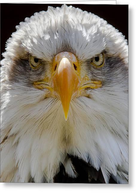 North American Bald Eagle  Greeting Card