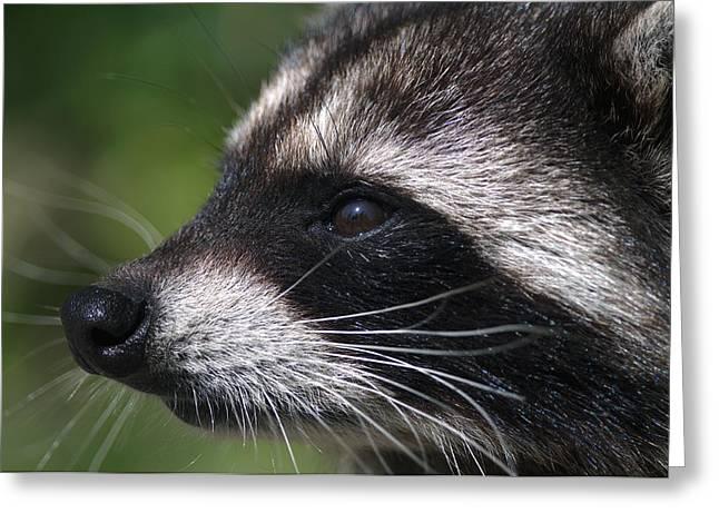 North American Raccoon Profile Greeting Card