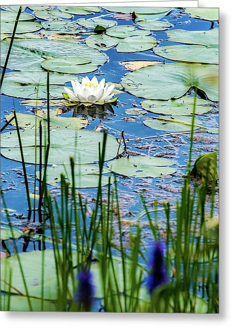 North American White Water Lily Greeting Card