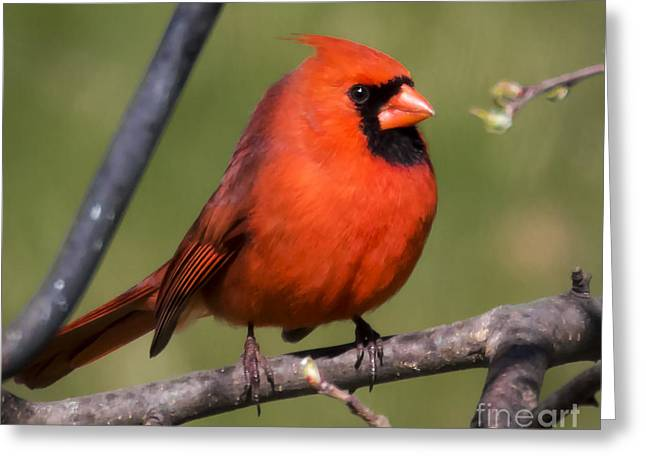 North Cardinal Greeting Card by Ricky L Jones