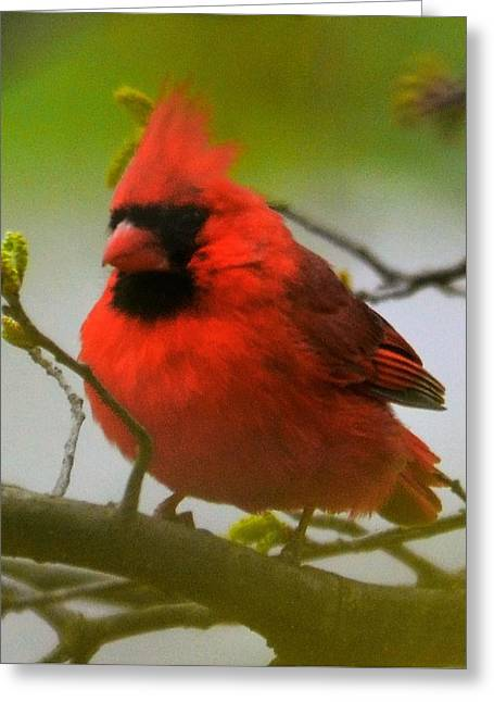 North Carolina Cardinal Greeting Card