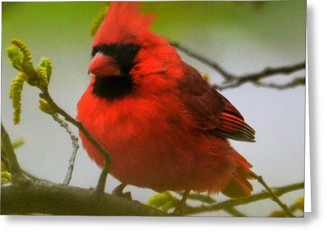 North Carolina Cardinal Greeting Card