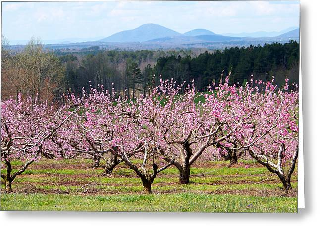 North Georgia Peach Trees In Bloom Greeting Card by Judy Grindle Shook