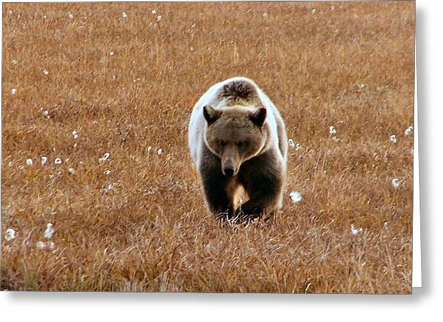 North Slope Grizzly Greeting Card by Adam Owen