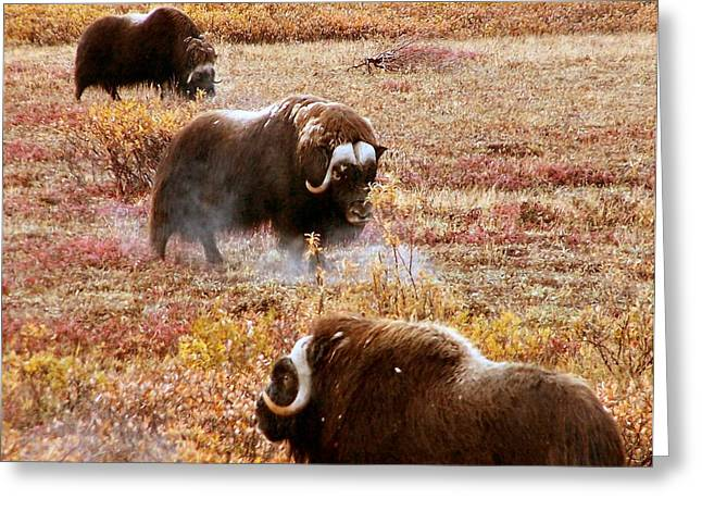 North Slope Musk Ox Greeting Card by Adam Owen