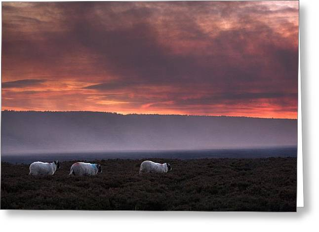 North Yorkshire, England Sheep Grazing Greeting Card by John Short