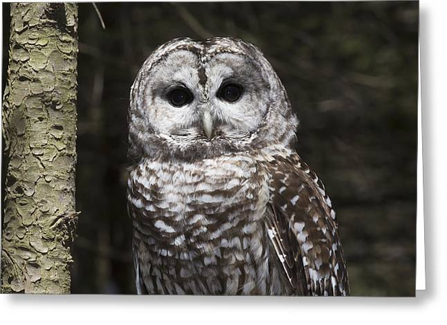 Northern Barred Owl Perched On Birch Greeting Card