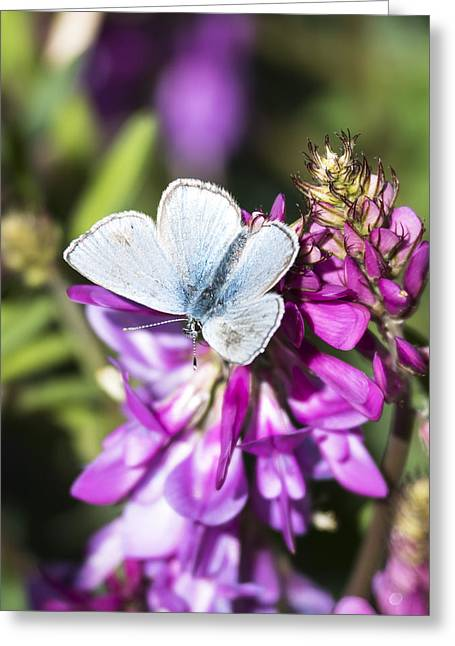 Northern Blue Butterfly Greeting Card