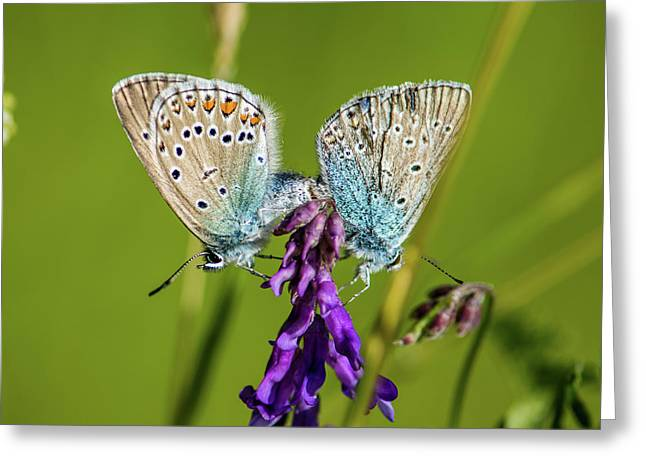 Northern Blue's Mating Greeting Card