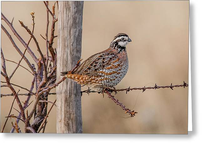Northern Bobwhite On A Fence Greeting Card
