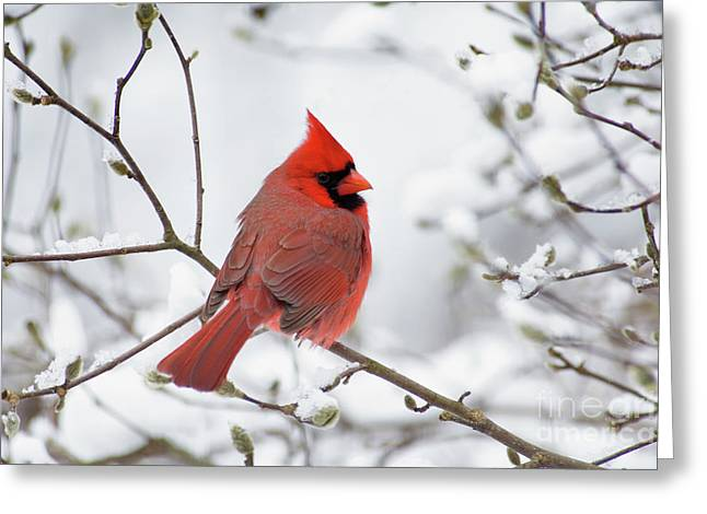 Northern Cardinal - D001540 Greeting Card