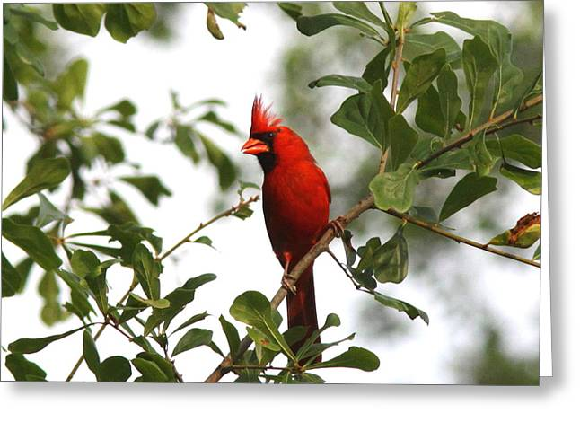 Northern Cardinal - In The Wind Greeting Card by Travis Truelove