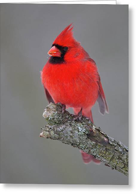 Northern Cardinal 10 Greeting Card