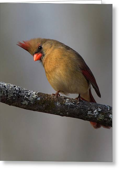 Northern Cardinal 4 Greeting Card
