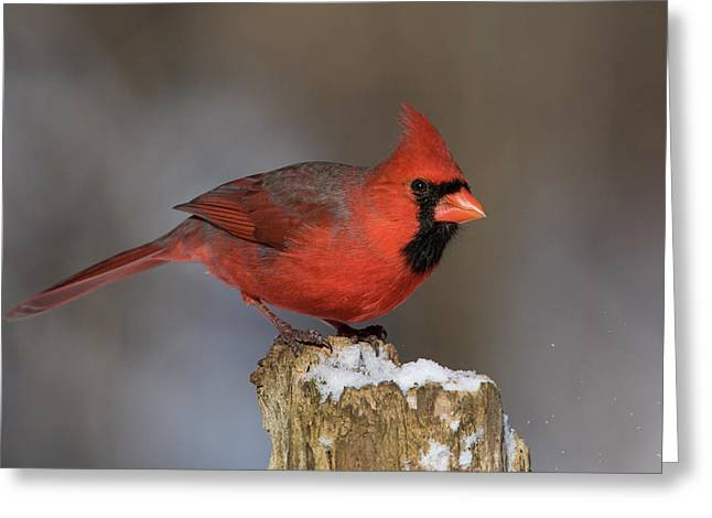 Greeting Card featuring the photograph Northern Cardinal In Winter by Mircea Costina Photography