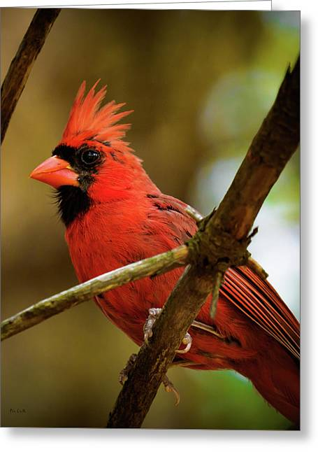 Greeting Card featuring the photograph Northern Cardinal  Male by Bob Orsillo