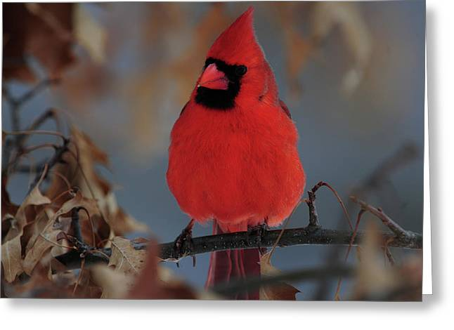 Northern Cardinal Greeting Card by Mike Martin