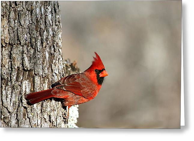 Northern Cardinal On Tree Greeting Card