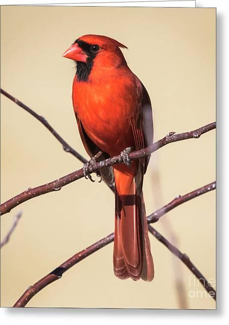 Northern Cardinal Profile Greeting Card