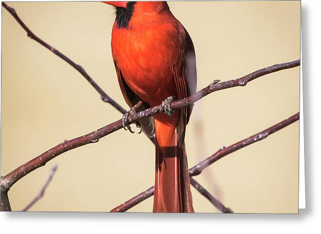 Northern Cardinal Profile Greeting Card
