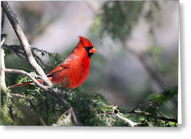 Northern Cardinal Red Greeting Card