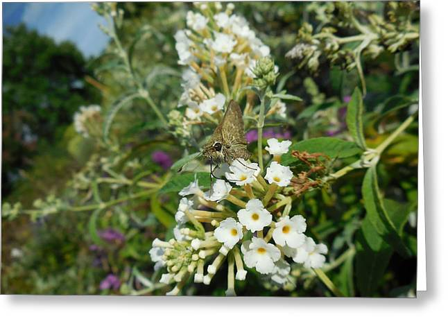 Northern Cloudywing Greeting Card