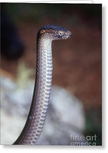 Northern Dwarf Crowned Snake Greeting Card by B. G. Thomson