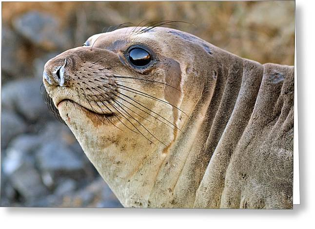 Best Sellers -  - Elephant Seals Greeting Cards - Northern Elephant Seal female  profile  Greeting Card by Eyal Nahmias