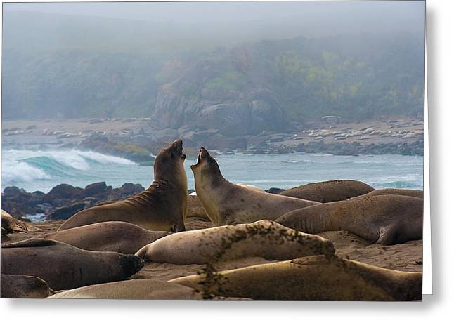 Best Sellers -  - Elephant Seals Greeting Cards - Northern Elephant Seals mirounga angustirostris Greeting Card by Eyal Nahmias
