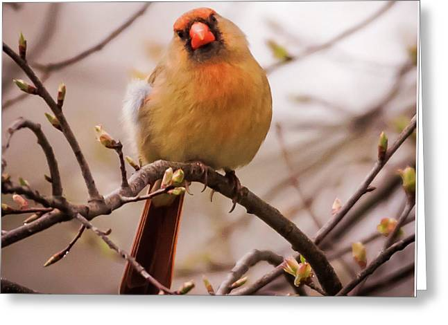 Greeting Card featuring the photograph Northern Female Cardinal Pose by Terry DeLuco
