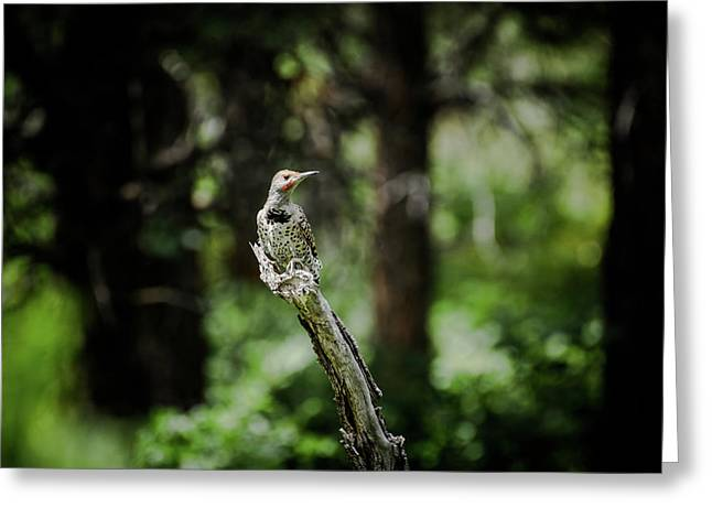 Greeting Card featuring the photograph Northern Flicker by Jason Coward