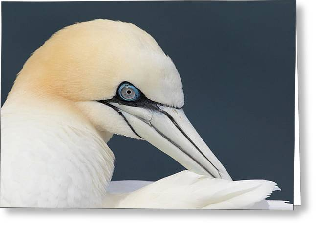 Northern Gannet At Troup Head - Scotland Greeting Card