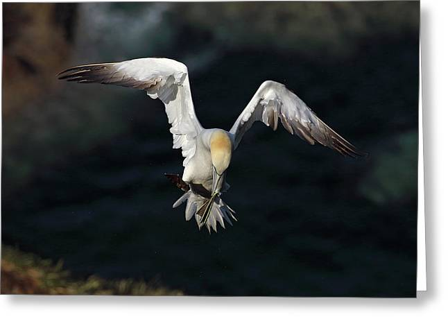 Northern Gannet In Flight 2 Greeting Card