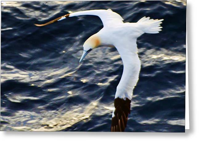Northern Gannet Looking For A Meal Offshore Greeting Card by Bill Perry