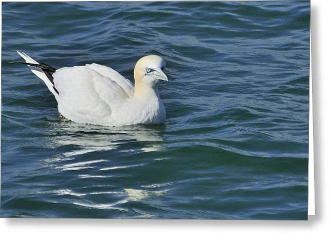 Greeting Card featuring the photograph Northern Gannet Resting On The Water by Bradford Martin