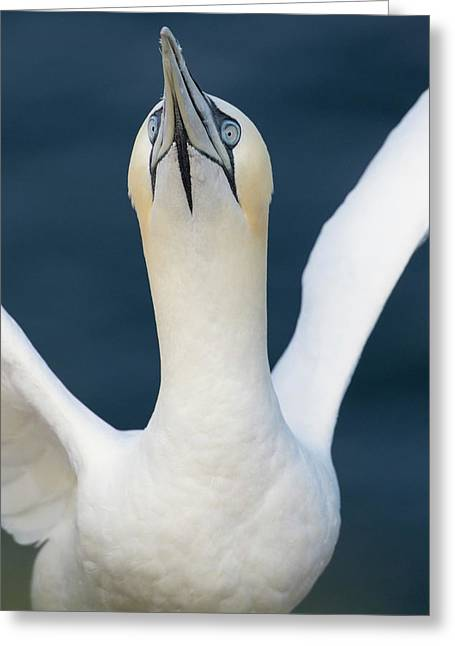 Northern Gannet Stretching Its Wings Greeting Card